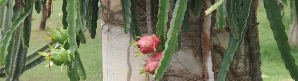 Pinke Drachenfrucht